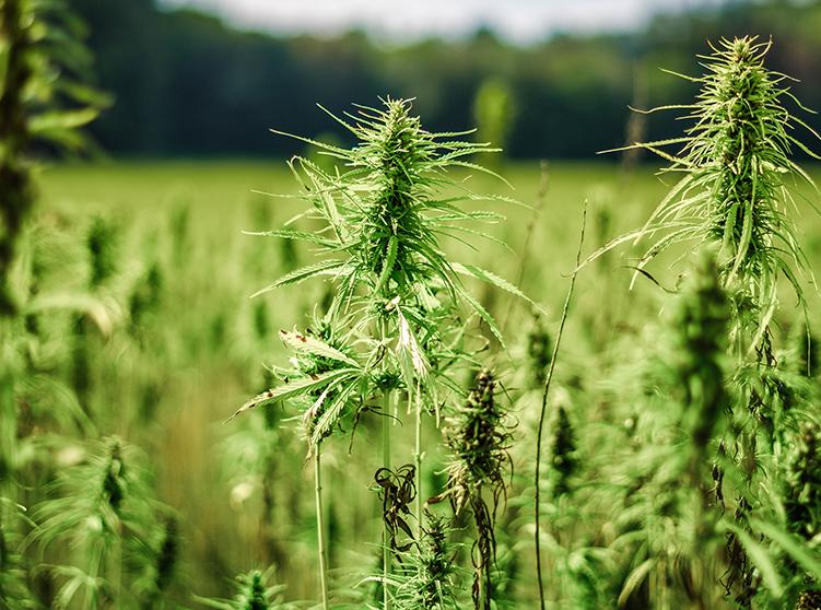 Hemp crop insurance coverage