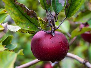 North Carolina Apple Growers